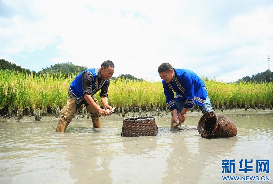 江西乐安:稻香鱼肥 村民捕捞忙