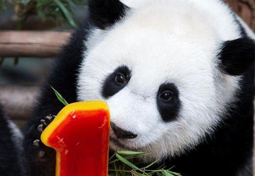 馬來西亞為在馬出生的第二只大熊貓寶寶慶生