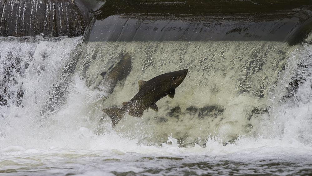 加拿大:三文魚洄遊成風景