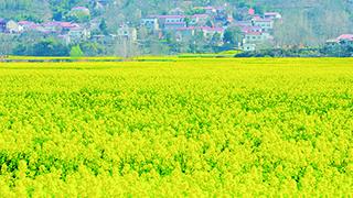 春天裏的油菜花