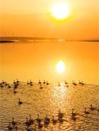 江西鄱陽湖:初春天鵝舞