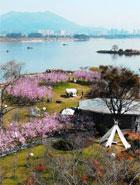 福州:滿園櫻花開 踏春正當時