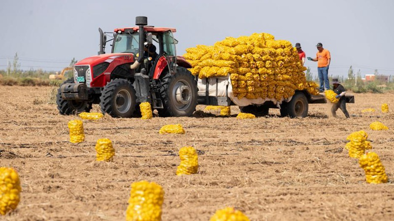 Farmers harvest potatoes in Hongrui Village of Pingluo County, NW China