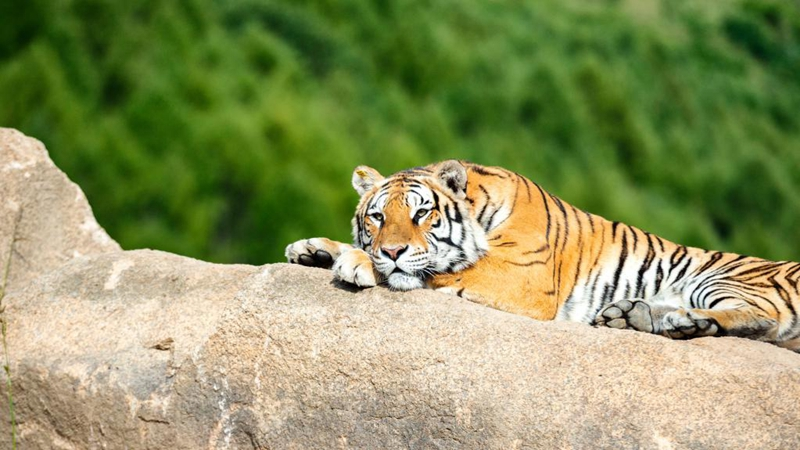 In pics: life of Siberian tigers in NE China's breeding center