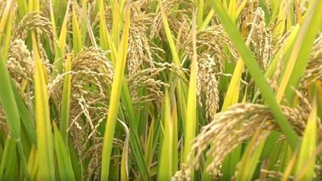Lisu ethnic villagers celebrate harvest festival