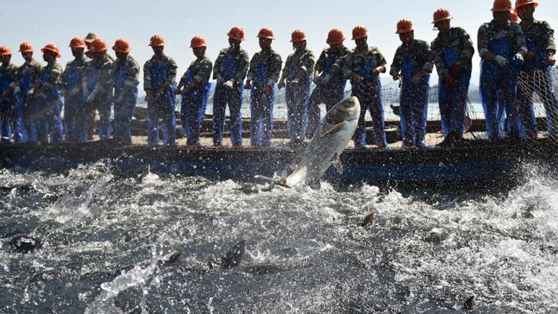 Fishes harvested in Chun'an, China's Zhejiang