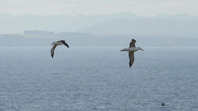 Albatrosses to have record-breaking breeding season in Southern New Zealand