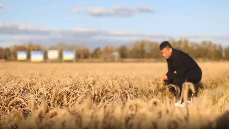 GLOBALink | Chinese agricultural experts cultivate high-yielding rice