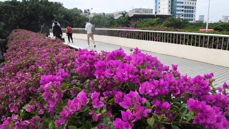 In pics: flower scenery of Nanning, Guangxi