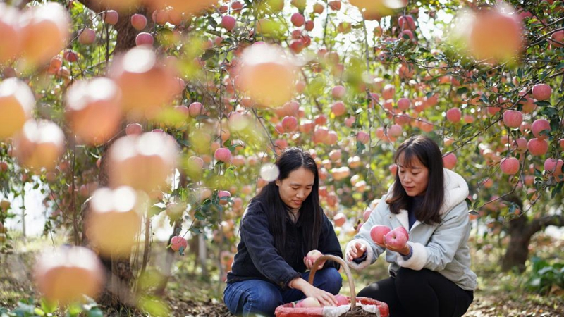 Local farmers start to harvest apples in Hebei