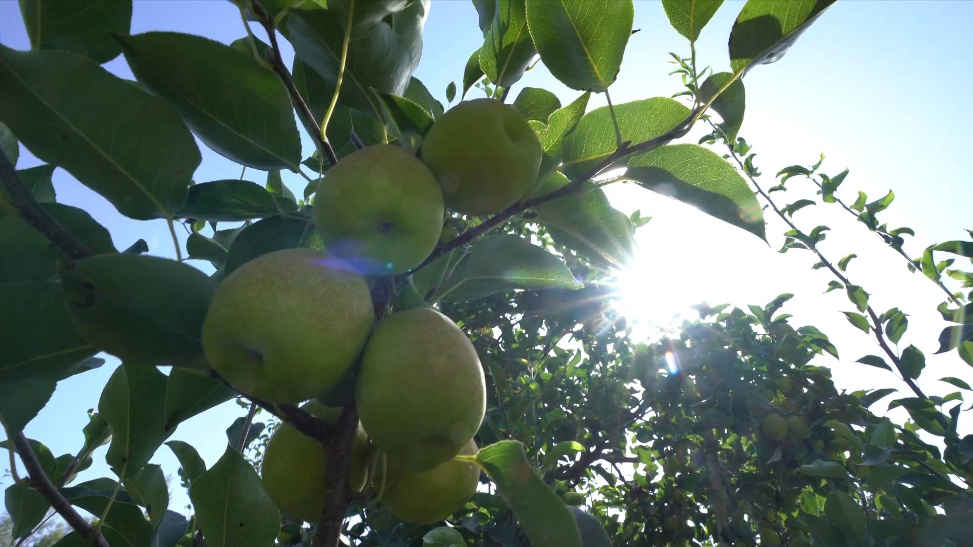 GLOBALink | Xinjiang's fragrant pears usher in the harvest season