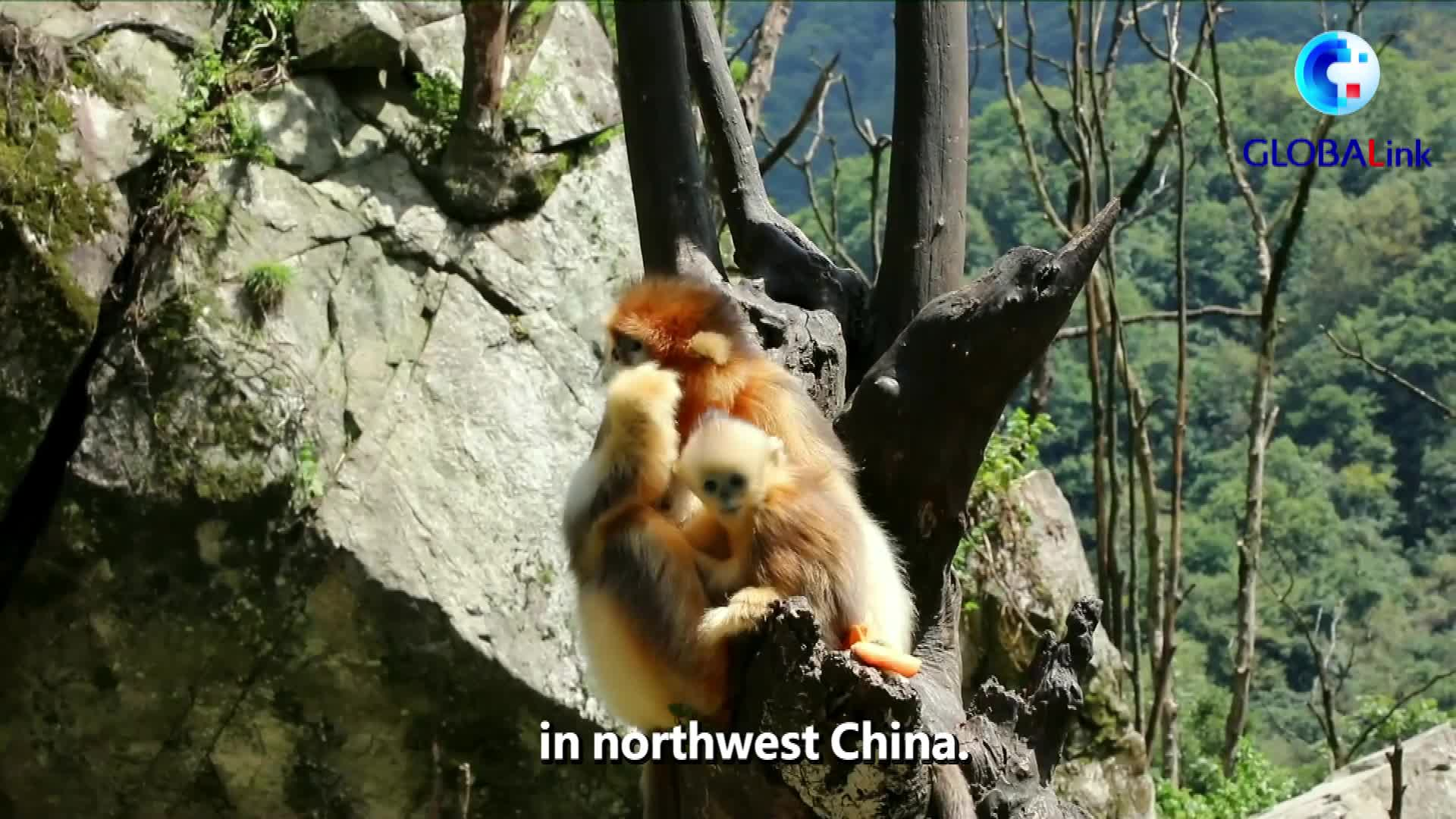 GlOBALink | Golden snub-nosed monkeys spotted in NW China