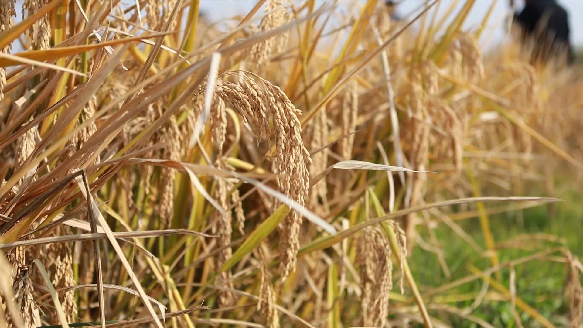 GLOBALink   Third-generation hybrid rice achieves record high single-cropping yield