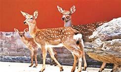 故宮來了9只梅花鹿