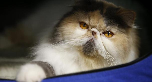 曼谷舉行貓展