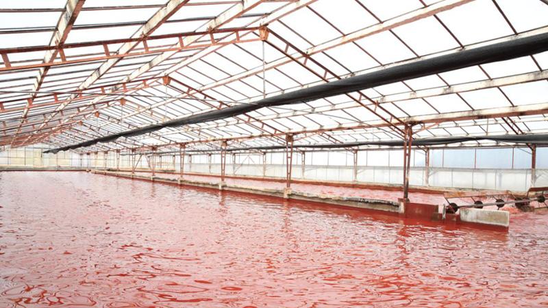 中国雨生红球藻产业化进程提速
