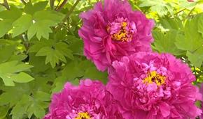 河南洛阳 今年春来早 牡丹花已开