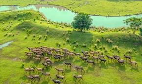 江苏泰州:生态好 麋鹿欢