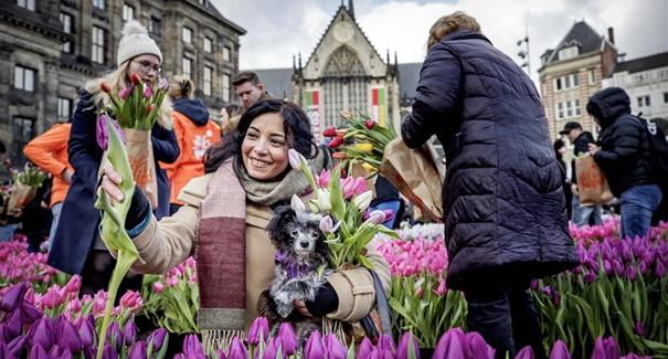 荷蘭迎來鬱金香日