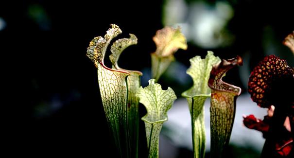 上海:食蟲植物展受青睞