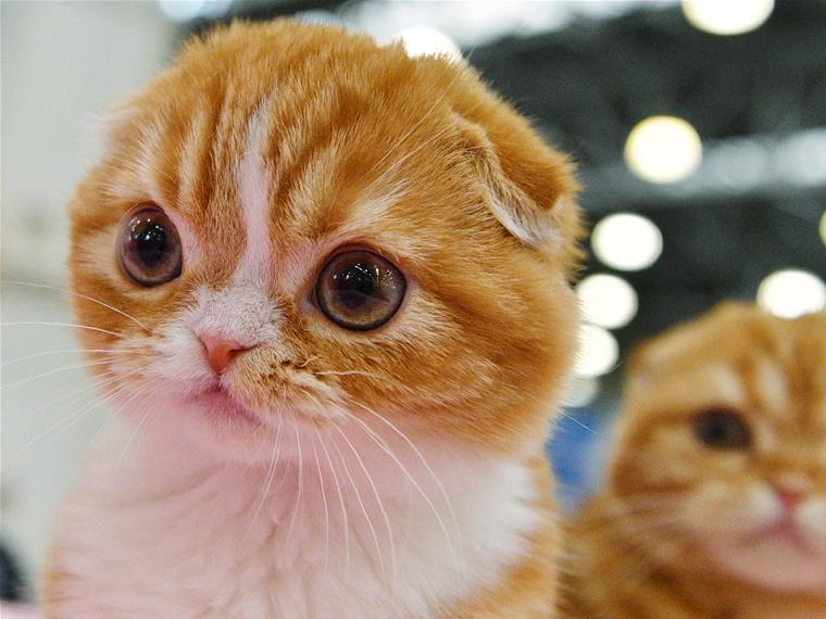莫斯科國際寵物貓展