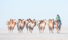 冰雪草原上的駱駝文化節