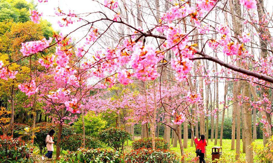 上海櫻花節即將揭幕