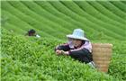 融入中國人生活的茶文化