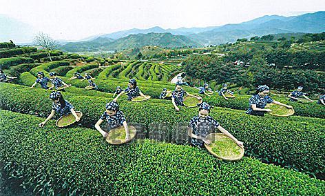 生態茶産業奏響大灣村脫貧致富曲