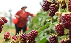 【高清圖集】山東沂源:莓果飄香富農家