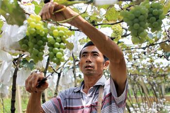 【高清圖集】雲南彌勒:健康發展葡萄産業