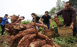 【高清圖集】湖南張家界高山葛根迎來豐收季