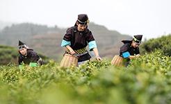 【高清圖集】貴州進入春茶採摘季