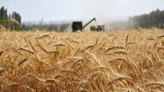 全國夏糧總産量13872萬噸