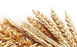 芝加哥農産品期價20日全線上漲