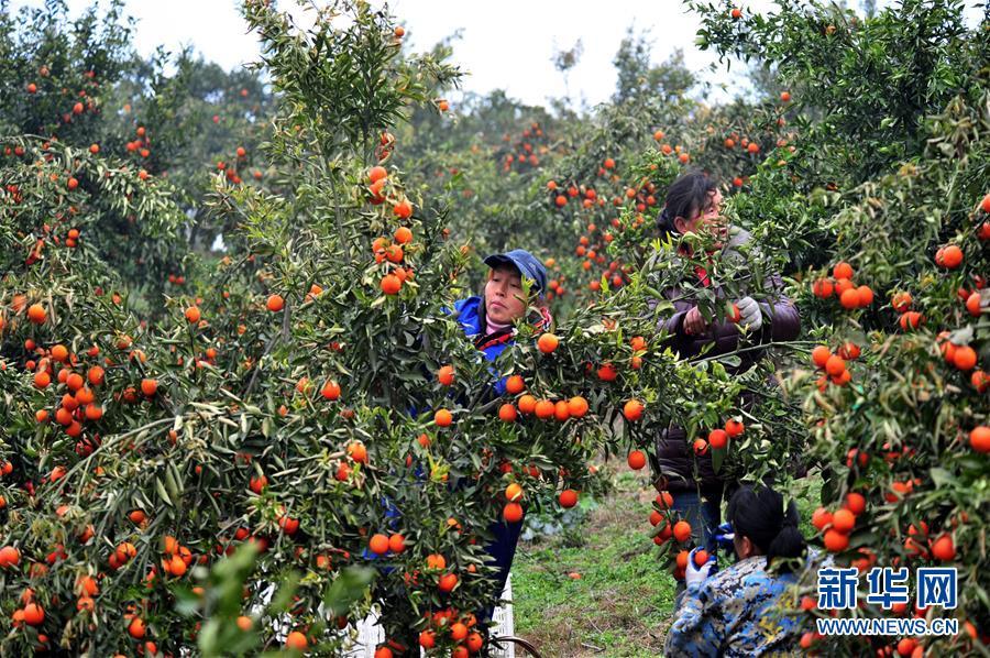 湖北宜昌:晚熟柑橘上市俏