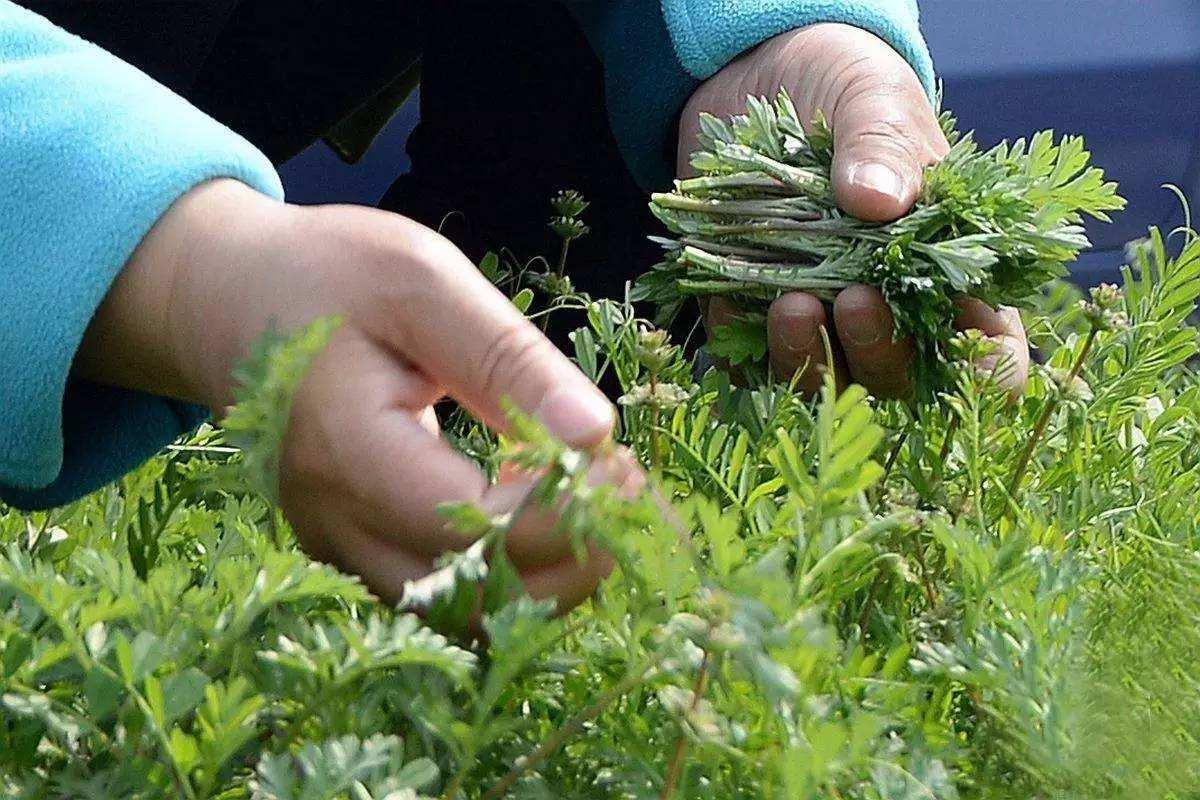市場監管總局發布食用野菜消費提示