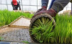 【高清圖集】冀東水稻種植區插秧工作全面展開