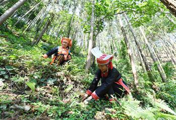 【高清圖集】廣西金秀:林下靈芝助增收