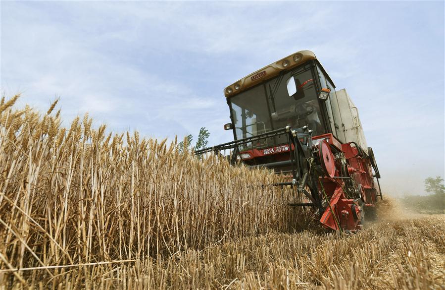 【高清圖集】小麥進入收獲期 金色麥田裏一派繁忙