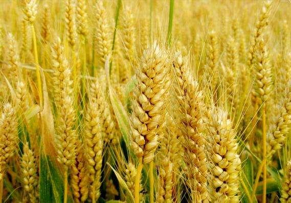 麥收進度過三成 全國冬小麥機收過億畝