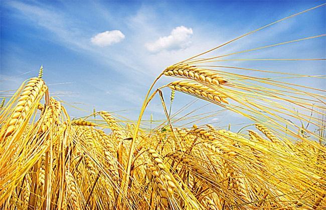 國家小麥良種攻關培育出一批綠色新品種
