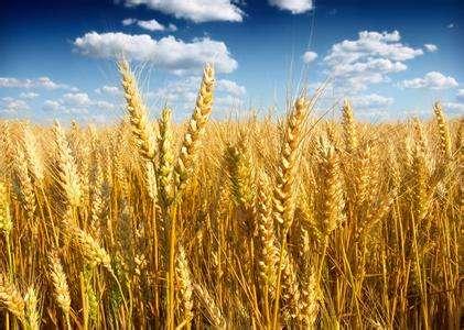 塔克拉瑪幹沙漠邊緣種下海水稻