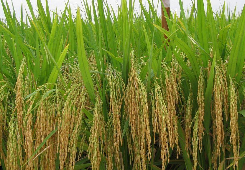 雜交水稻有望實現大規模機械化制種