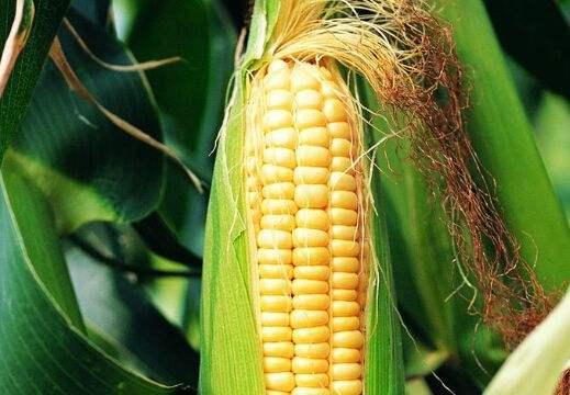 集貿市場玉米、豆粕價格上漲