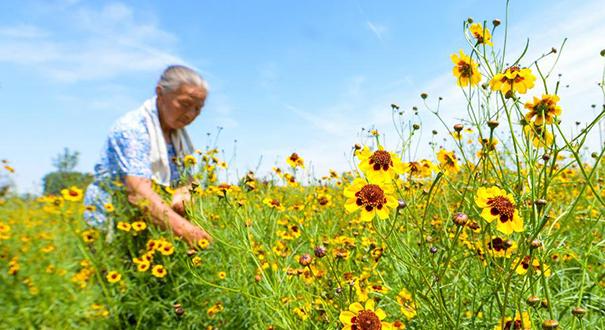 【高清圖集】菊花種植富農家