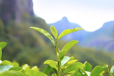 """健康茶油是怎樣""""煉""""成的"""