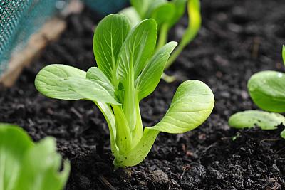 安徽推進油菜産業綠色高效發展