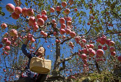 蘋果香裏話增收