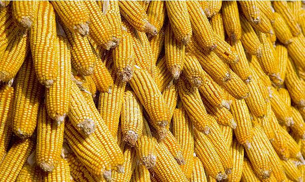 山東玉米收獲已過九成